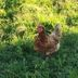 Chicken in the field