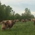 Cows in the field 4