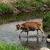 Cow crossing water